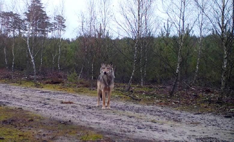 Widzieliście kiedyś wilka na żywo? Jeśli nie, to mamy dla was nie lada gratkę! Pan Grzegorz Sawko udostępnił nam niezwykły materiał filmowy, na którym