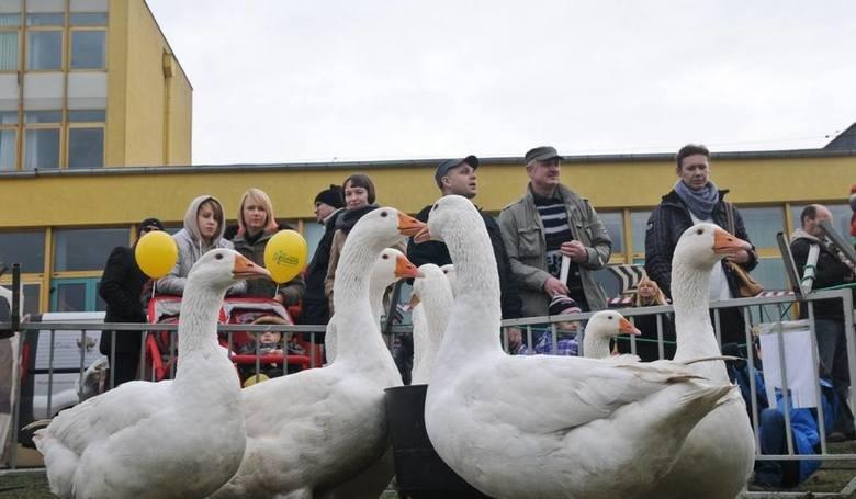 Festiwal gęsiny 2018 w Przysieku odbędzie się 10 i 11 listopada w godzinach 10-17. Kujawsko-Pomorski Festiwal Gęsiny to największy w Polsce kiermasz