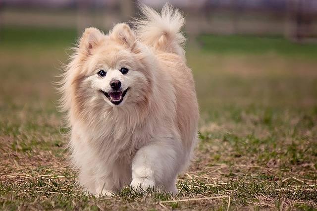 Najdroższe rasy psów. Nie uwierzysz, że psy mogą kosztować nawet tyle co mały, nowy samochód. Ceny psów niektórych ras potrafią sięgać 30 tysięcy złotych.