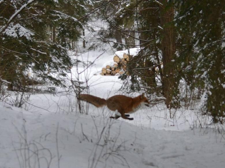 RDLP - liczenie zwierzyny leśnej. Inwentaryzacja na Podlasiu (zdjęcia)
