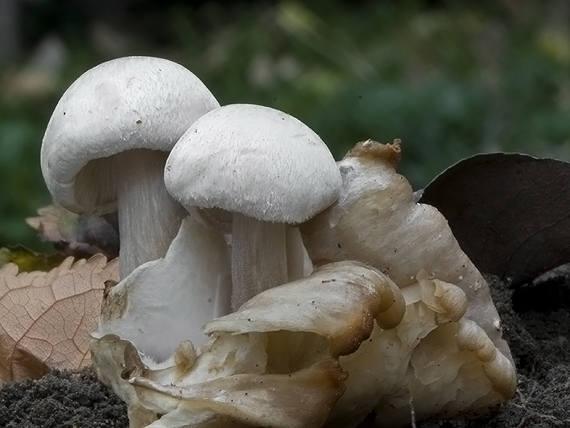<strong>Pochwiak grzybolubny (Volvariella surrecta) - niejadalny</strong><br /> <br /> Średnica i kolor: 3-5 cm średnicy. Nieraz może osiągać nawet 8 cm. Początkowo białawy, później staje się bardziej różowawy. <br /> <br /> Blaszki: gęste, cienkie, różowawe - miejscami z odcieniami brązu. Szerokie na...