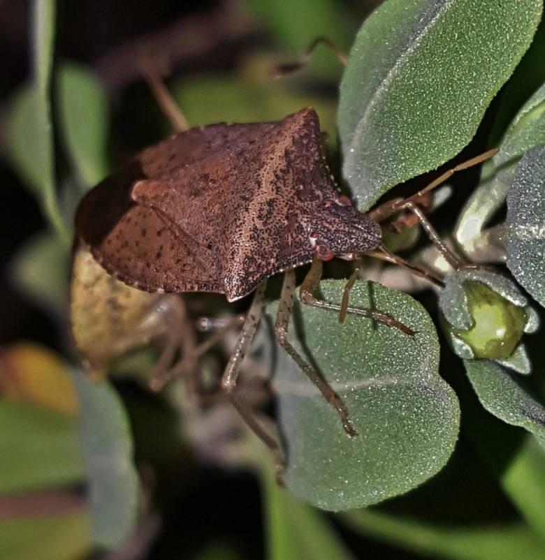 Halyomorphy na roślinie