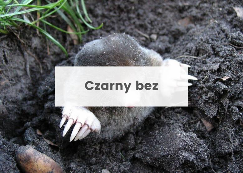 Takie są sposoby na kreta w ogrodzie. Tak możesz odstraszyć zwierzę, które ryje na działce [28.07.21]