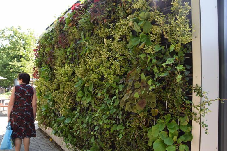 Zielona ściana na przystanku MZK w Zielonej Górze