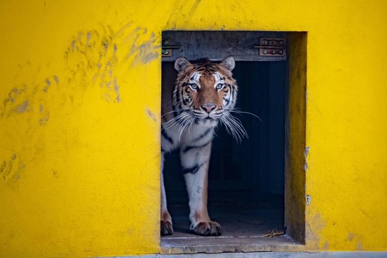 Kot Browarnik  to strażnik budynku dyrekcji zoo i jego otoczenia. - To jego miejsce na ziemi. Nie dopuszcza na teren kotów z sąsiedztwa - mówi Ewa Z