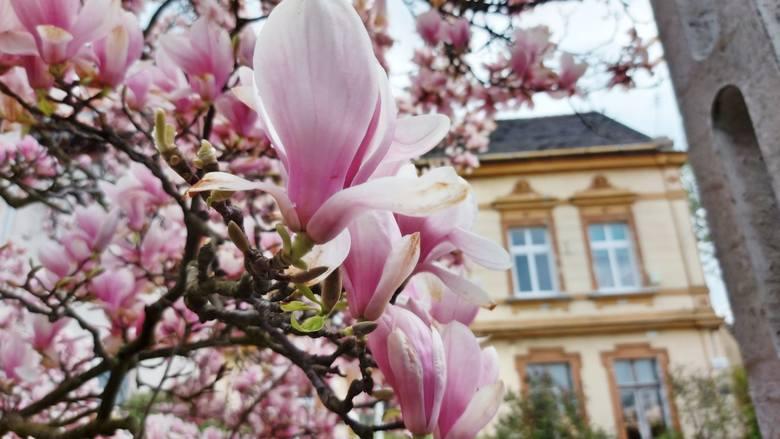 To najlepszy moment, by zobaczyć, jak pięknie kwitną teraz zielonogórskie magnolie. Może wybierzesz się na spacer śladami tych drzew?