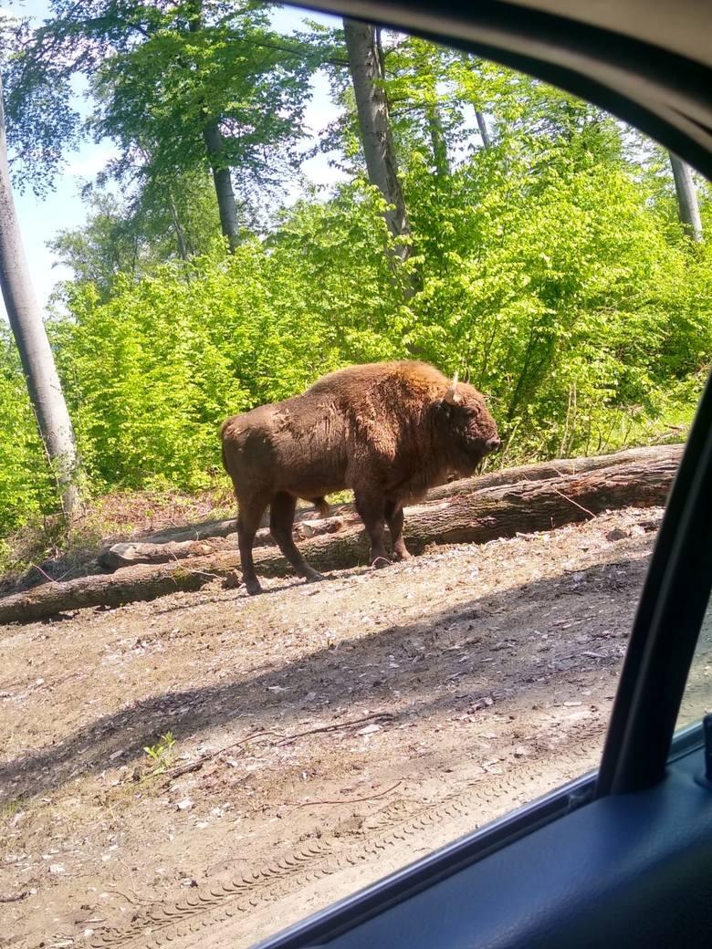 Już kilka razy pisaliśmy o żubrze, który zwiedza Podkarpacie. W marcu i kwietniu potężny byk o imieniu Pumigrant widziany był w lesie w okolicach Krasiczyna.