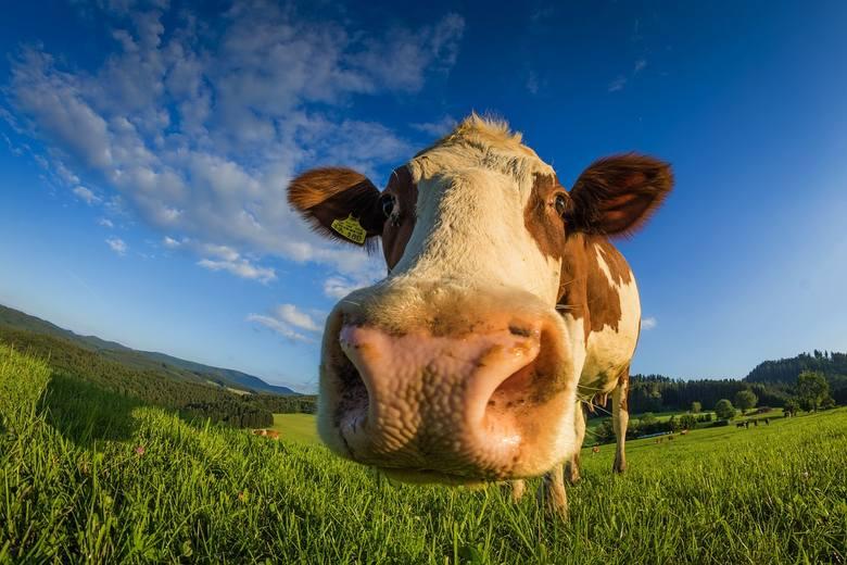 Ustawa odorowa budzi sprzeciw rolników. Chcą inwestować