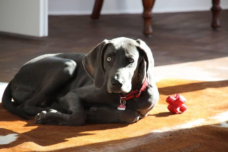 Psy, które najtrudniej znoszą samotność.  One powinny być przy człowieku! Lepiej nie pozostawiaj tych psów samych w domu