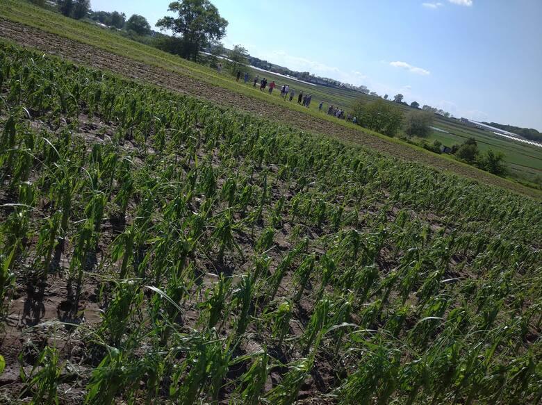 Zniszczone gradobiciem uprawy warzyw w gminie Igołomia-Wawrzeńczyce