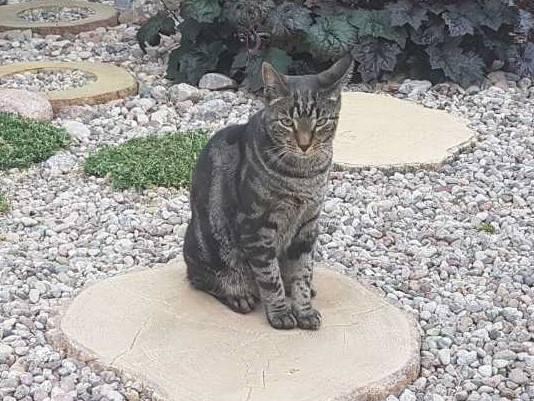 Zaginął 1,5-letni kot Kajtek. Właściciel prosi o pomoc w odnalezieniu
