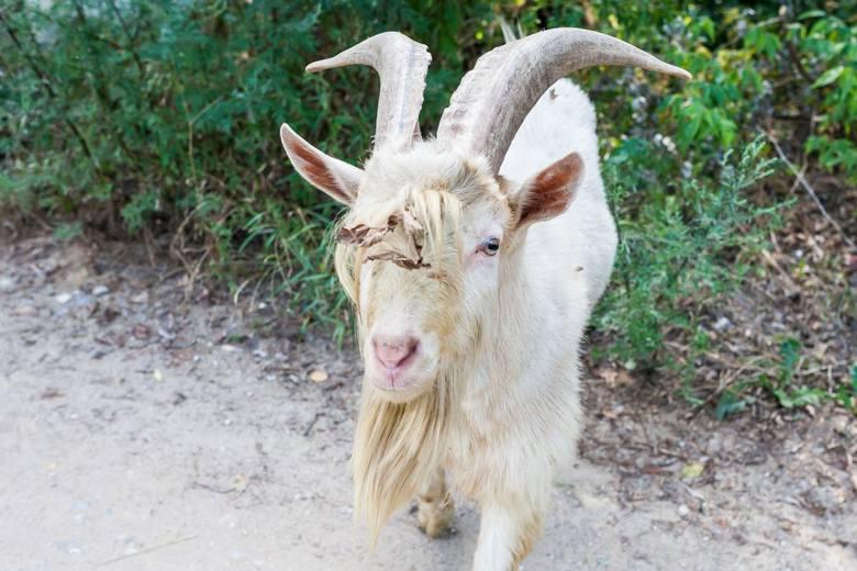 """Martwe kozy w Warszawie. Na wyspie na Wiśle zwierzęta znalazły się w ramach miejskiego projektu. Miały być """"naturalnymi kosiarkami&quot"""