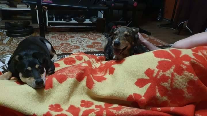 Schroniskowe psy w domach tymczasowych