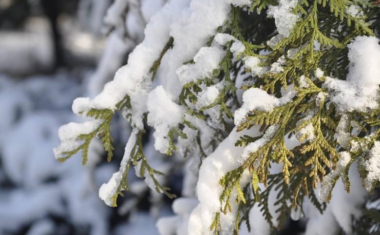 Śnieg na tujach