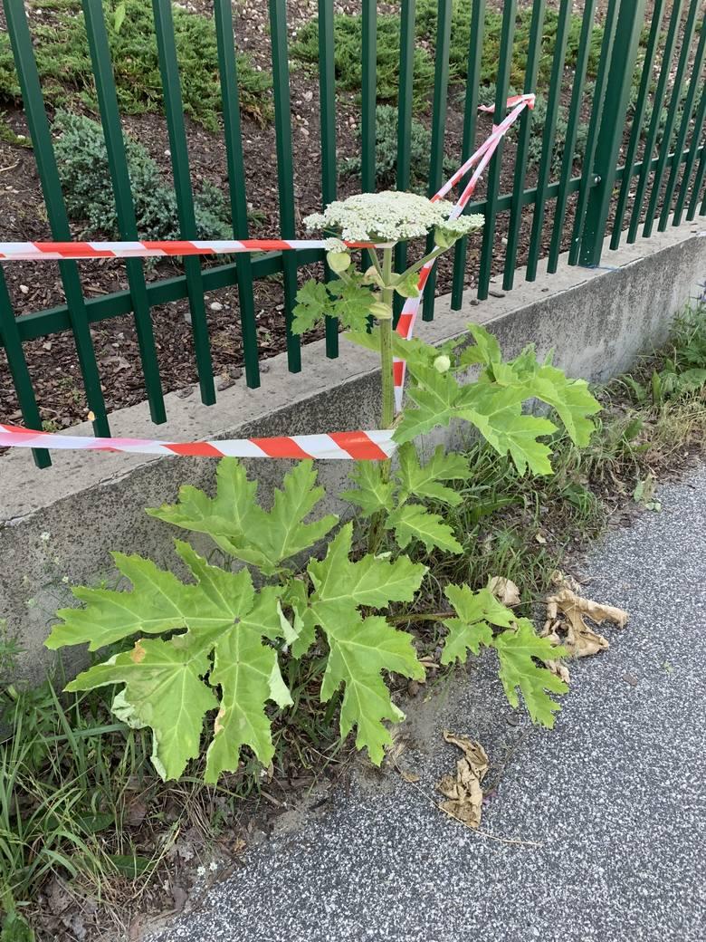 Przy ulicy Jarocińskiej wyrósł pierwszy w Toruniu Barszcz Sosnowskiego. Niebezpieczna roślina została zidentyfikowana i usunięta przez straż miejską.