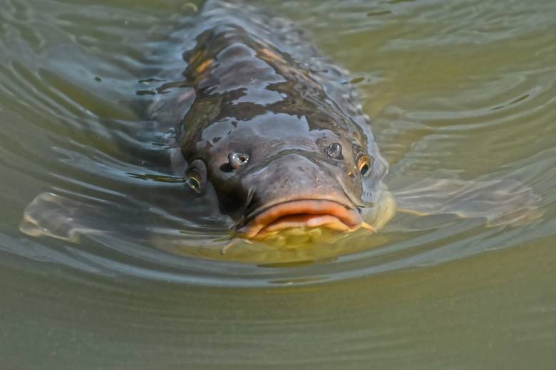 Największe ryby złowione w polskich wodach. Oto oficjalne rekordy Polski