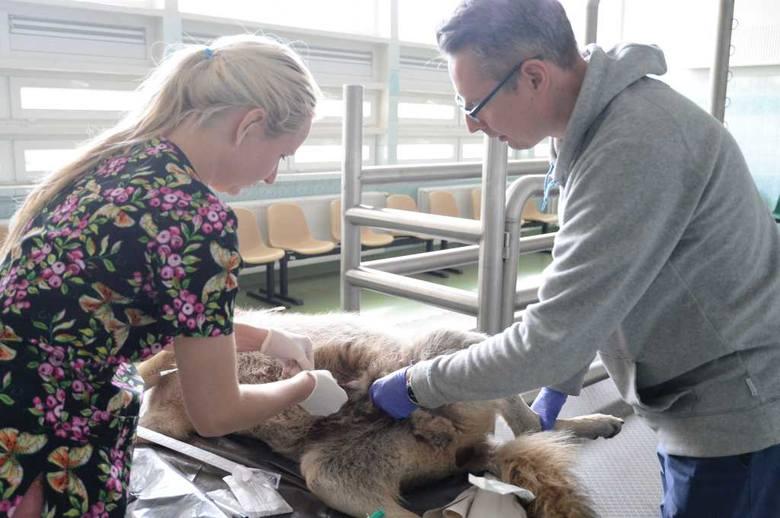 Lekarze weterynarii UPWr pobierają próbki moczu zwierzęcia do specjalistycznych badań
