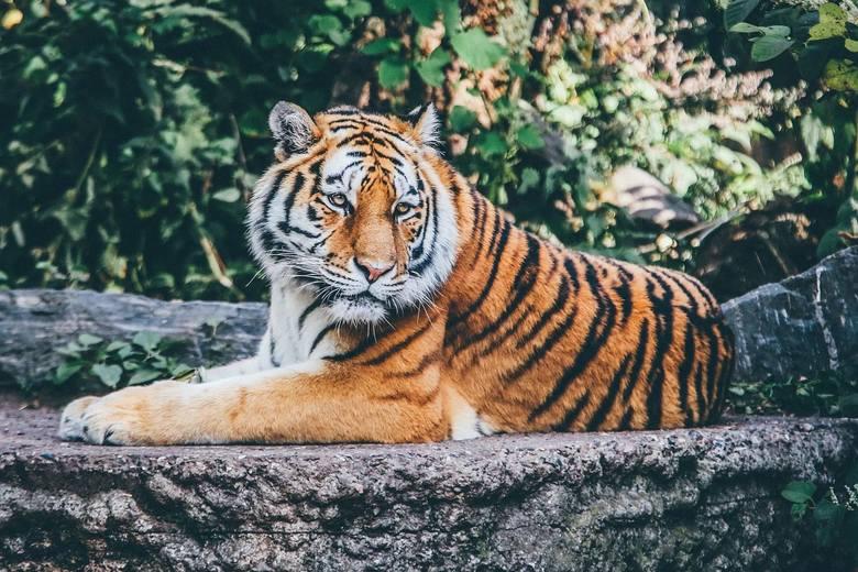2020 rok będzie dla Tygrysa o wiele bardziej wymagający niż poprzedni. Największą trudnością będzie dla niego to, że najbliższy okres zmusi go do większego