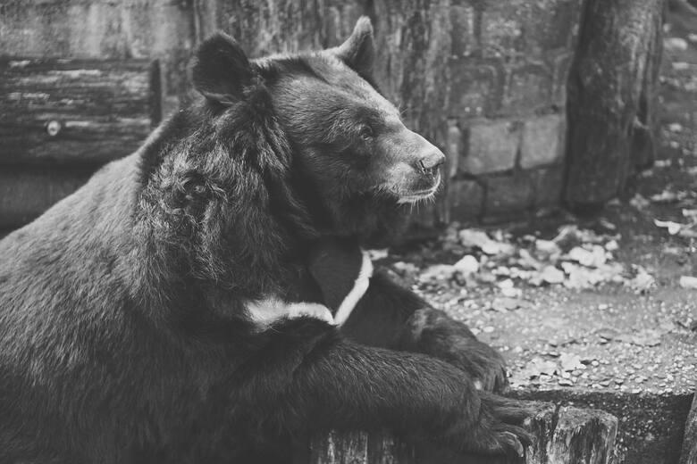 USA: 15 miesięcy więzienia dla mężczyzny, który zabił w indiańskim rezerwacie czarnego niedźwiedzia