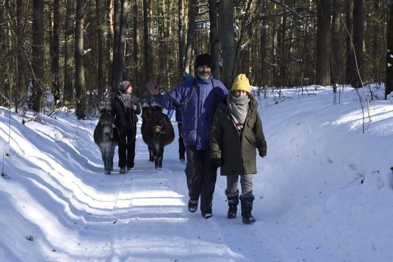 Arkadiusz Pstrong zapewnia, że osiołki znają drogę do domu i wrócą do niego nawet same