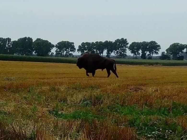 Żubr w gminie Puck. Dostojne zwierzę spacerowało polami między Starzynem a Werblinią (Zdjęcia)