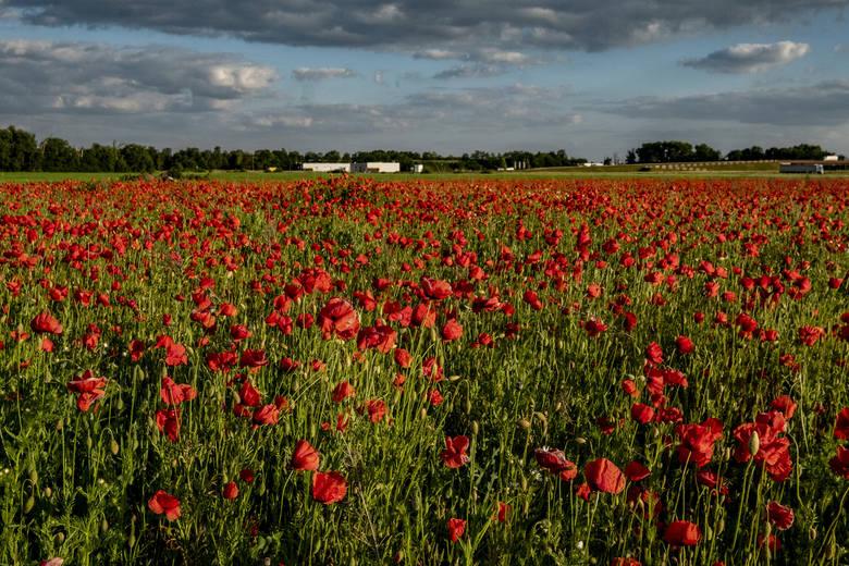 Czerwone pola pełne maków przyciągają prawdziwe tłumy! Po sezonie na kwitnący na żółto rzepak, przyszedł czas na mak. Dziko rosnące kwiaty przyciągają