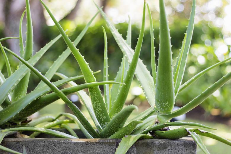 Aloes wymaga dużo światło, dlatego dobrze czuje się na parapecie okiennym. Latem możemy podziwiać jego żółte i dzwonkowate kwiaty, ale niewiele osób