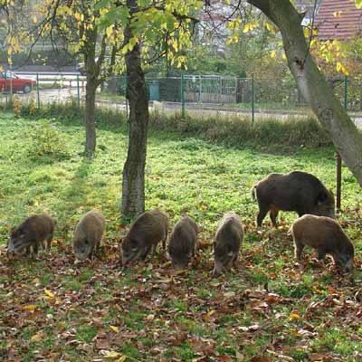 Dziki pojawiły się w centrum miasta. W tle widać nawet ul. Wrocławską. Zwierzęta nic nie robiły sobie z miejskiego zgiełku.