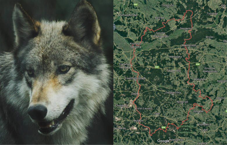 W województwie lubuskim coraz częściej można spotkać wilki. Zwierzęta te wróciły do naszego regionu po kilkudziesięciu latach nieobecności. Nasi Czytelnicy