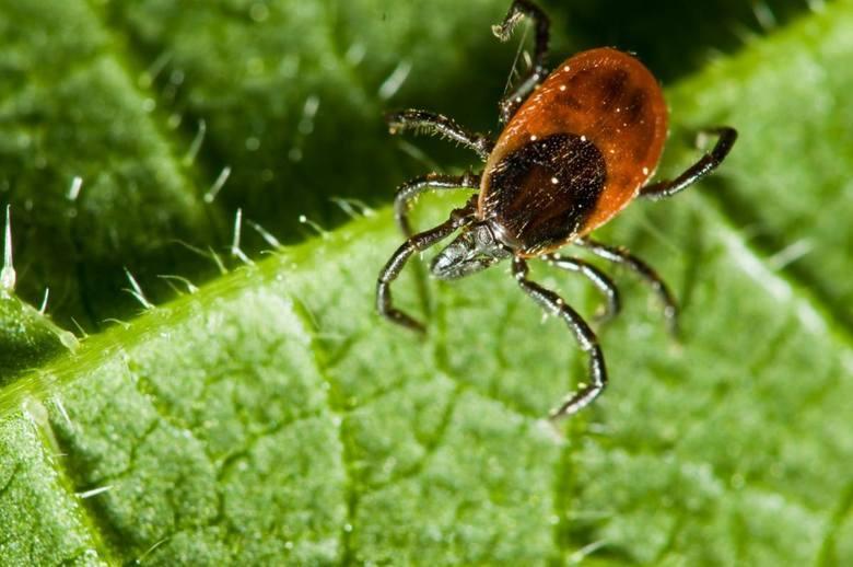 Kleszcze 2019: Plaga kleszczy w Polsce! Naukowcy znów alarmują. Jak chronić się przed atakiem? Sprawdź jakie groźne choroby przenoszą!
