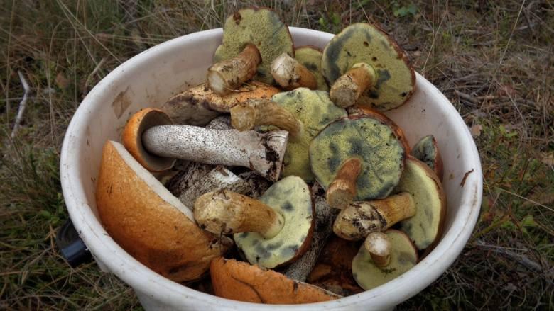 Wyjątkowo obrodziły podgrzybki, maślaki, koźlaki, ale i prawdziwków było bardzo dużo. Lasy były pełne grzybów, chodziło po nich wielu grzybiarzy! Zobacz