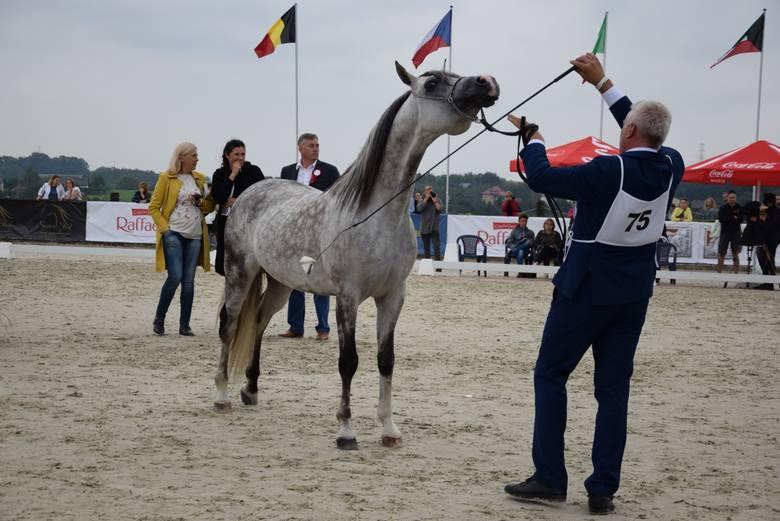 Cztery dni poświęcone koniom arabskim. Krakowski pokaz i Puchar Polski w michałowickim klubie Szary