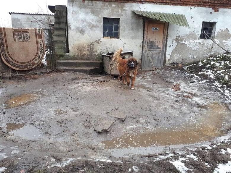 Pies na łańcuchu - to ciągle jeszcze zwyczajny obrazek na polskiej wsi