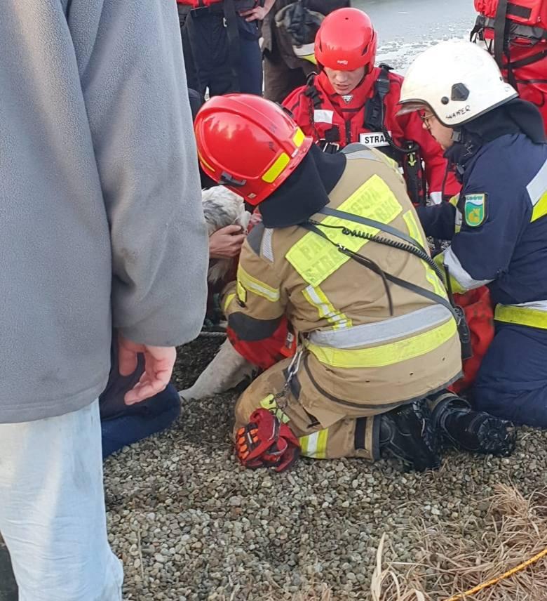 Owczarek niemiecki, pod którym załamał się lód na stawie w Marszowicach został uratowany dzięki szybkiej pomocy straży pożarnej. W działaniach brały