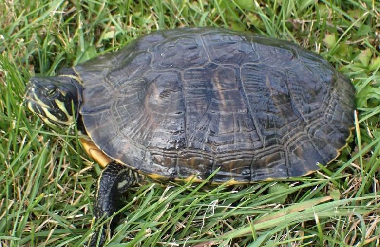 Drapieżny żółw jak gdyby nigdy nic spacerował sobie w sierpniu 2020 na terenie Wigierskiego Parku Narodowego. Nie wiadomo jak jadowity gad tam się znalazł.
