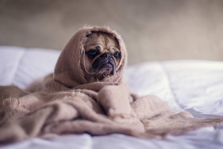 Brązowy mops siedzi na łóżku, przykryty kocykiem.