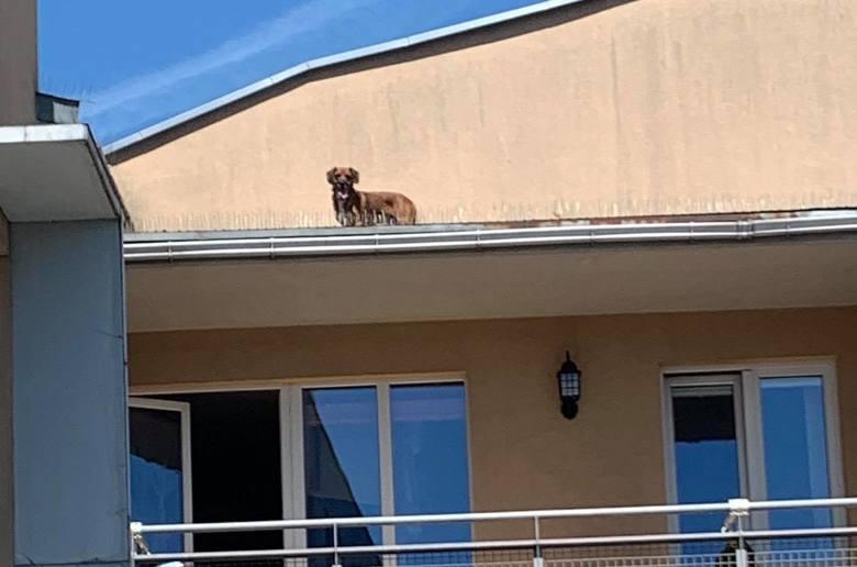 To historia psa na gigancie! Czworonóg postanowił opuścić taras, na którym się wygrzewał i zrobić sobie wycieczkę po mieście. Na Poznań chciał jednak