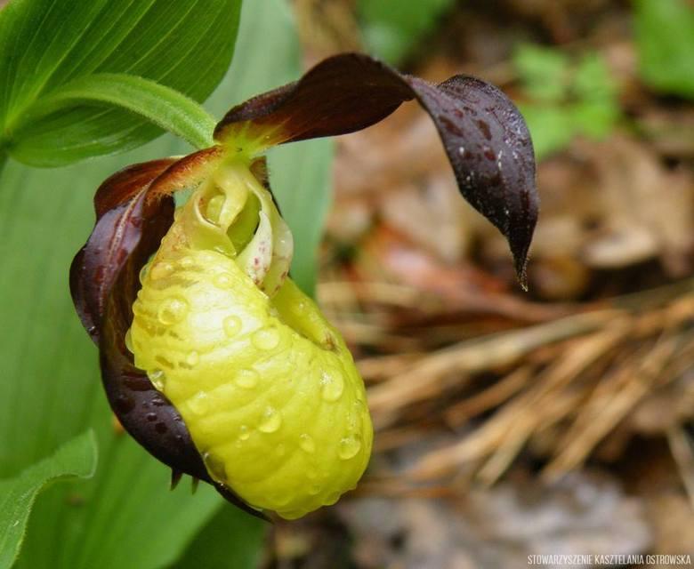 Obuwik pospolity to gatunek rośliny z rodziny storczykowatych. Pospolicie nazywane orchideami lub storczykami. Gatunki z tej rodziny najczęściej można kupić w kwiaciarniach, ale obuwika pospolitego w naturze zobaczyć można jedynie w kilkudziesięciu miejscach w Polsce na nizinach lub pogórzu....