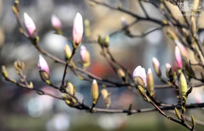 Przepiękne magnolie zakwitły w Szczecinie [zdjęcia]
