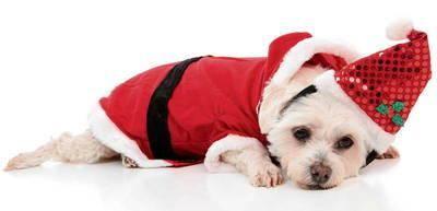 Nie zdajemy sobie najczęściej sprawy, że psy wysyłają do nas wiele sygnałów, np. o swym samopoczuciu w czasie świąt. Nie zawsze są nimi zachwycone tak