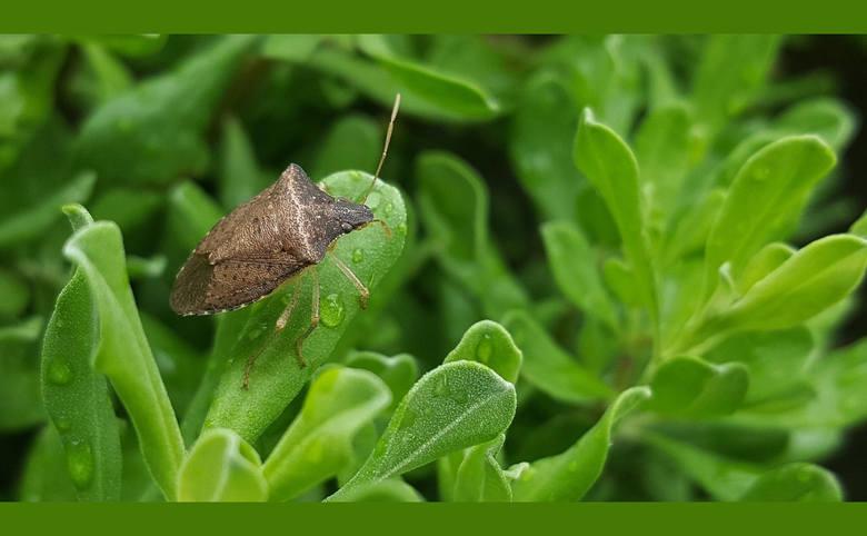 Halyomorpha halys na roślinie