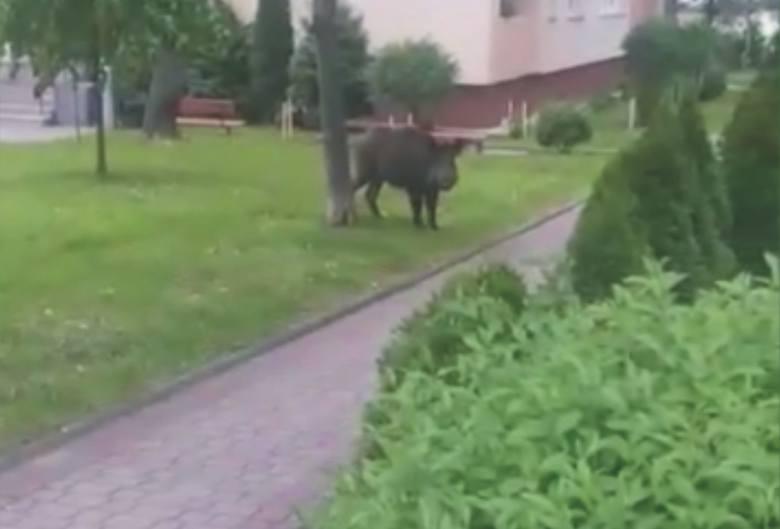 Dzik spacerujący we wtorek rano po os. Glazera w Przemyślu. Stop klatka z filmu.