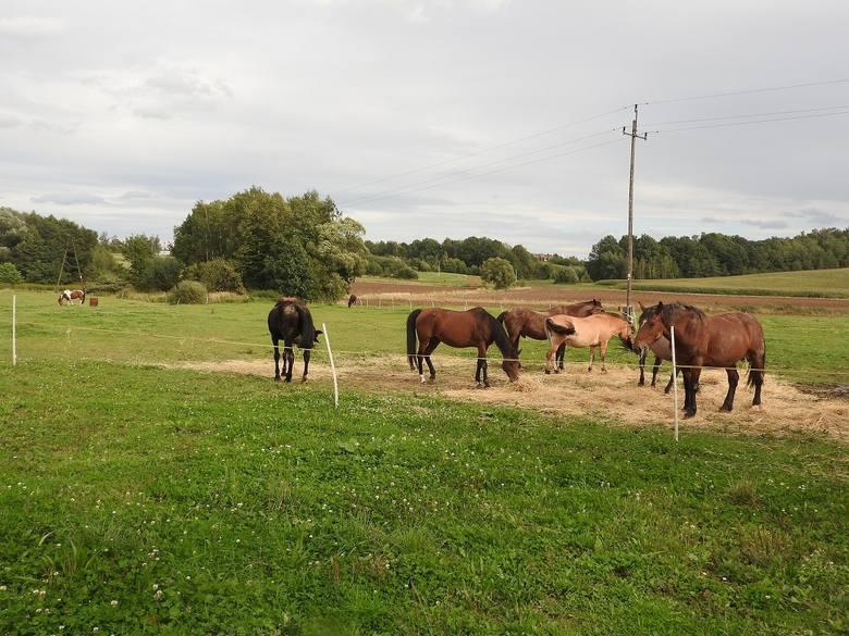 Ostrzelano śrutem także stadninę koni we Frydrychowicach koło Wieprza