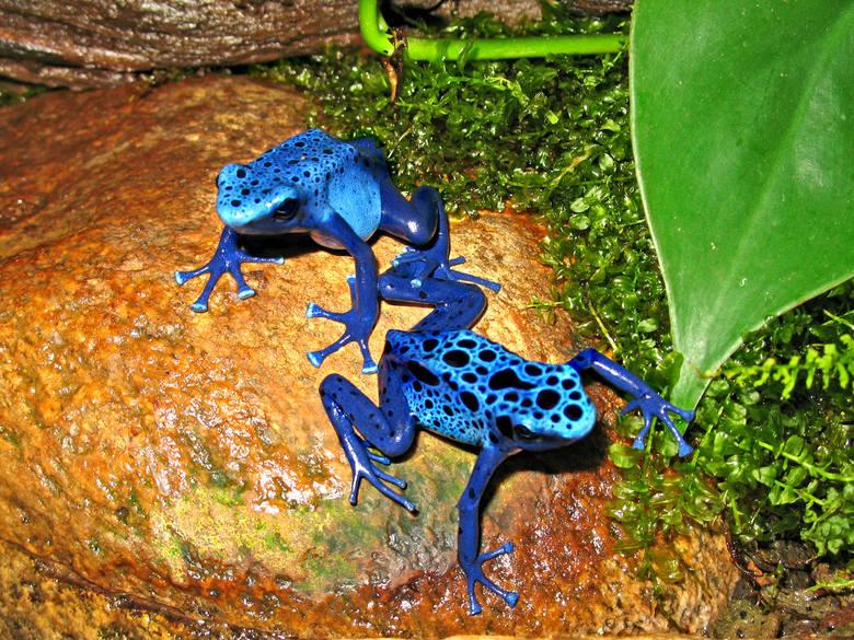 Drzewołaz niebieski Ta niepozorna żaba jest tak toksyczna, że potrafi zabić nawet 20 000 myszy. Nie dotykajcie nigdy jej skóry! Trucizna znajduje się