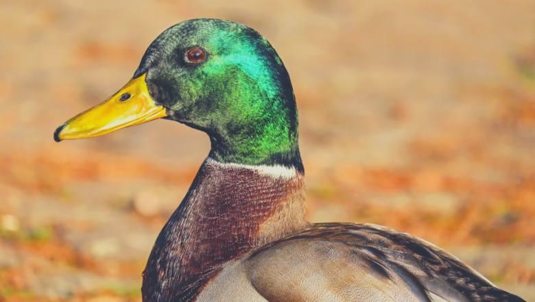 Inna choroba, na którą chorują dokarmiane ptaki to kwasica, która często skutkuje zwyrodnieniami stawów i łamliwością kości. Wrzucając do wody pieczywo,