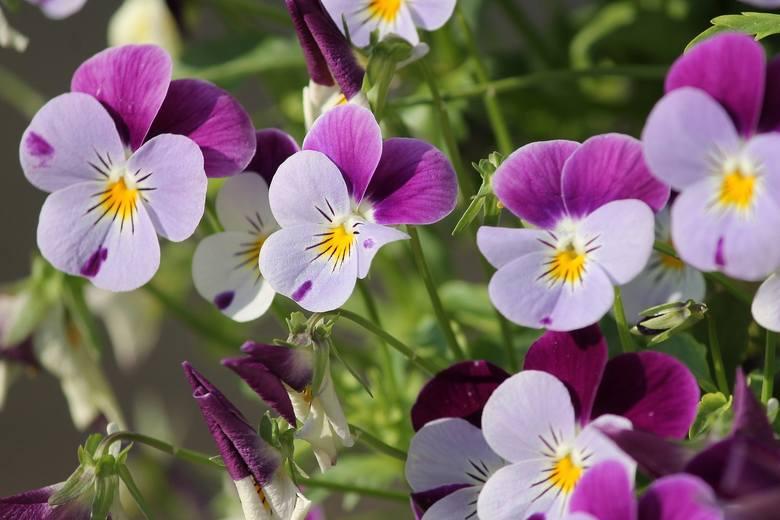 """Te kwiaty bywają nazywane """"miniaturowymi bratkami"""" i tak właśnie wyglądają. Warto jednak wiedzieć, że to odrębny gatunek, pochodzący z Pirenejów. Obecnie"""