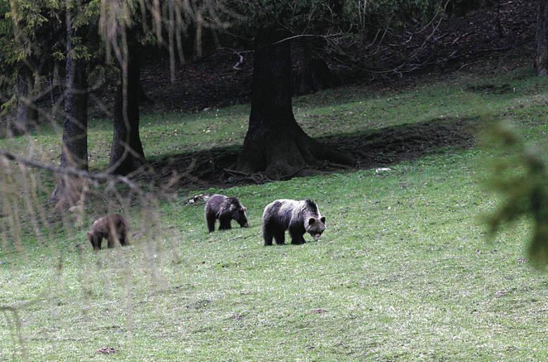 Nie podchodźmy za bliskoNie wolno nam zbliżać się do niedźwiedzi. Zachowajmy bezpieczną odległość - co najmniej kilkudziesięciu metrów - tak, by niedźwiedź