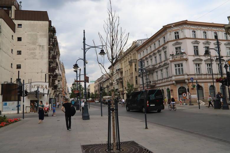 Kolejne drzewa uschły na Piotrkowskiej. Część platanów klonolistnych trzeba będzie wymienić. W tym roku problemy młodych drzew potęguje silna susza.