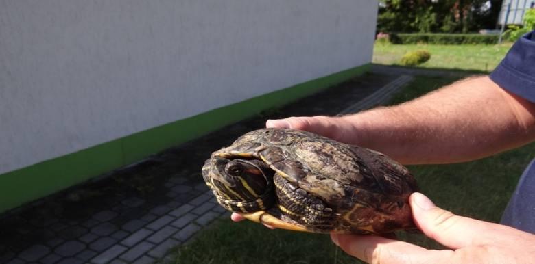 Żółw czerwonolicy w Puławach. Miasto walczy z wyjątkowo inwazyjnym gatunkiem. Zobacz zdjęcia!