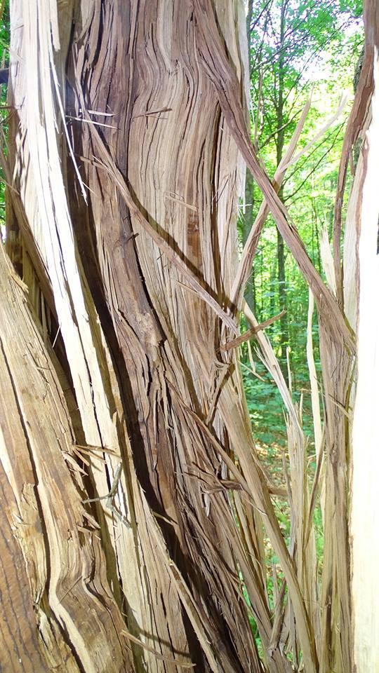 Mieszkaniec Łupawy Pan Kazimierz Kozioł spacerując po lesie tuż za Łupawą zobaczył niesamowity widok dęba po uderzeniu pioruna.Kora i wióry z tego drzewa